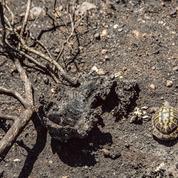 Les dernières tortues françaises fragilisées par les incendies de cet été