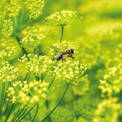 La relance de la culture du fenouil en Provence profite aux abeilles
