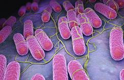 Les salmonelles sont responsables de 20.000 intoxications alimentaires par an