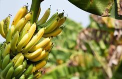 Aux Antilles, la population est toujours exposée au chlordécone