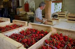 France 5 : les cerises menacées par un moucheron asiatique