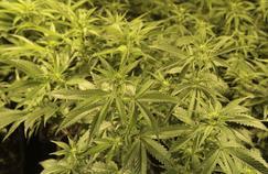 Médicaments à base de cannabis: Agnès Buzyn veut relancer la recherche