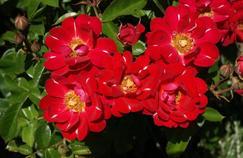 «Grain de malice», lauréate du Grand prix de la rose SNHF