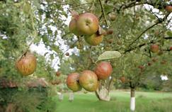 Pommes anciennes : des trésors à redécouvrir sur France 5