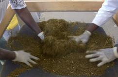 Paludisme: Artemisia, la plante de la discorde