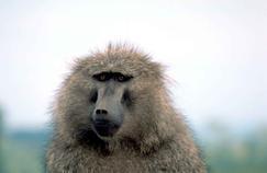Des babouins ont survécu six mois après une greffe de cœur de cochon