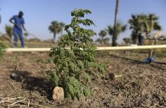 Des plantes pour soigner le palu? «Inefficace et irresponsable», selon l'Académie de médecine
