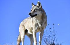 Kad Merad fasciné par le loup Slava sur France 2