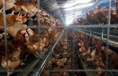 Arte cœur de la vie des poules pondeuses