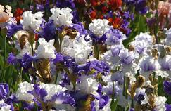 Sur la route éphémère des iris en fleur