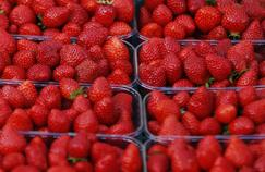 Après l'affaire des kiwis italiens, de fausses fraises françaises dans le Lot-et-Garonne
