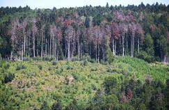 Sécheresse: menacée, la forêt des Vosges ne veut pas disparaître