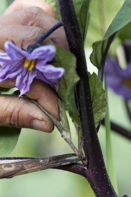 Le pincement des plants d'aubergine.