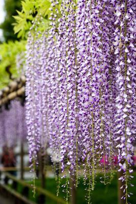 La grâce des longues grappes de fleurs de la glycine du Japon.