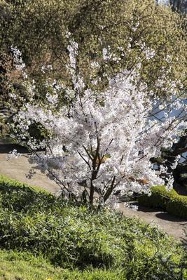 Jeune cerisier  <i>yoshino</i> ( <i>Prunus x yedoensis) </i>planté récemment.