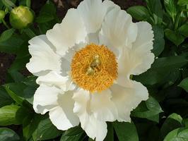 'Moonrise' est un hydride de  <i>Paeonia lactiflor</i>a et de  <i>P. lobata</i>, obtenu par le sélectionneur américain Saunders en 1949.