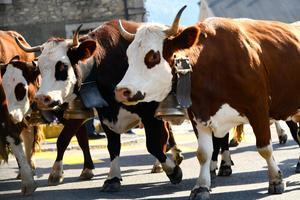 Les vaches de la race Abondance