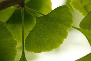 Les feuilles de ginkgo biloba stimuleraient l'activité cérébrale.