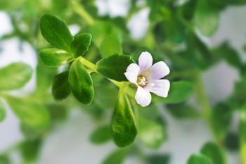 Le bacopa, présent dans certains compléments alimentaires, favorise la concentration.