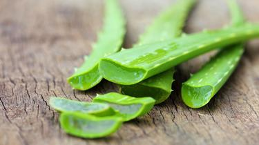 Les feuilles fraîches d'Aloe vera sont à manier avec précaution