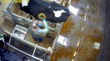 Vaches à hublot: peut-on tout faire subir aux animaux ?