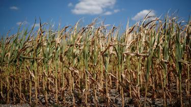 Entre pénurie de foin et menaces sur le maïs, les agriculteurs souffrent