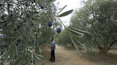 Sécheresse : près de Nice, le coup de chaud des oliviers
