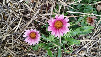 Plante semi-rustique, le gazania craint le froid et le gel.