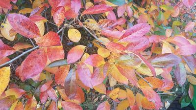 Le splendide feuillage d'automne du topello d'Amérique ( <i>Nyssa sylvatica</i>).