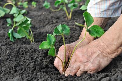 Lors de la plantation, il faut veiller à ne pas enterrer le bourgeon central du jeune fraisier.