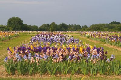 Explosion de couleurs dans la parcelle de présentation des iris Cayeux à Poilly-lez-Gien (Loiret).