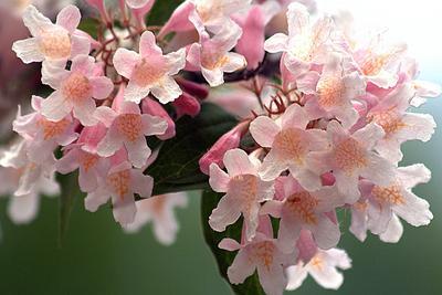 Fleurs de kolkwitzia.
