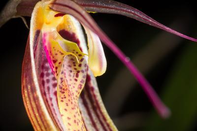 Fleur de  <i>Restrepia antennifera</i>.