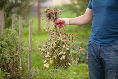 Pied de tomate détruit par une attaque de mildiou.