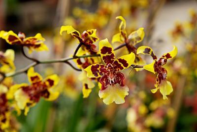 Fleur de  <i>Zygopetalum</i>.