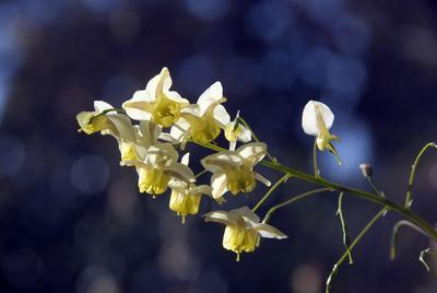 Fleur d'épimédium .