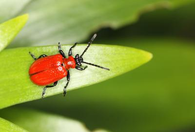 Le criocère du lis est un insecte phytophage récemment arrivé en France.