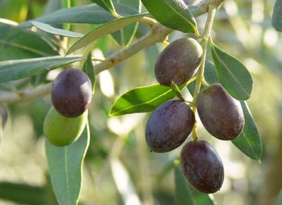 La récolte s'étend de la fin septembre pour les olives de table, à la fin février pour les variétés à huile.