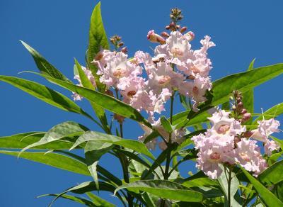 Le chitalpa de Tashkent fleurit sans discontinuer de la fin du printemps jusqu'aux premières gelées.