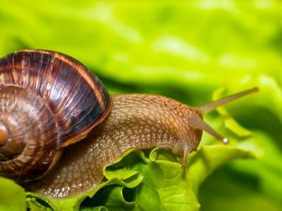 Escargots et limaces sont très amateurs de laitue. Soyez vigilants!