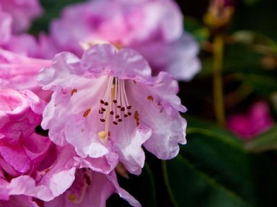 R. yakushimanum, variété 'Fantastica'.