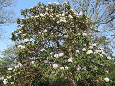 Certains rhododendrons peuvent devenir des arbres de grande taille.