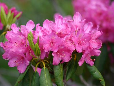 Rhododendron de l'espèce  <i>ponticum</i>.