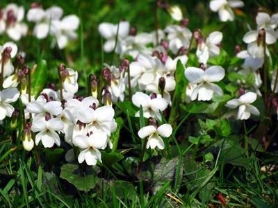 Les pétales de violettes peuvent aussi être blancs.