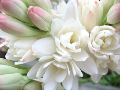 Très prisée des parfumeurs, la tubéreuse (Polyanthes tuberosa) est une plante frileuse qui se cultive en pot.