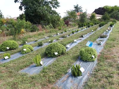 Vue d'ensemble de l'une des parcelles expérimentales où Astredhor a testé une trentaine d'arbustes esthétiquement proches du buis.