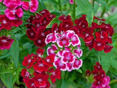 Œillet de poète en fleurs.