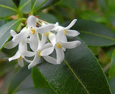 Fleurs d'osmanthus x burkwoodii. Le feuillage de cet arbuste rappelle celui du buis.