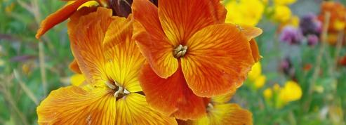 Giroflée ravenelle ou «fleur des murailles»