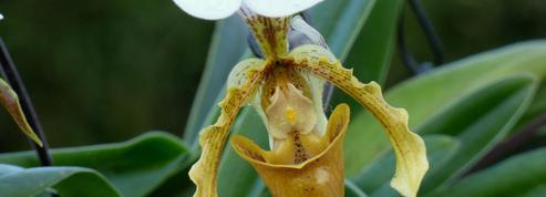 Sabots-de-Vénus, orchidées d'intérieur